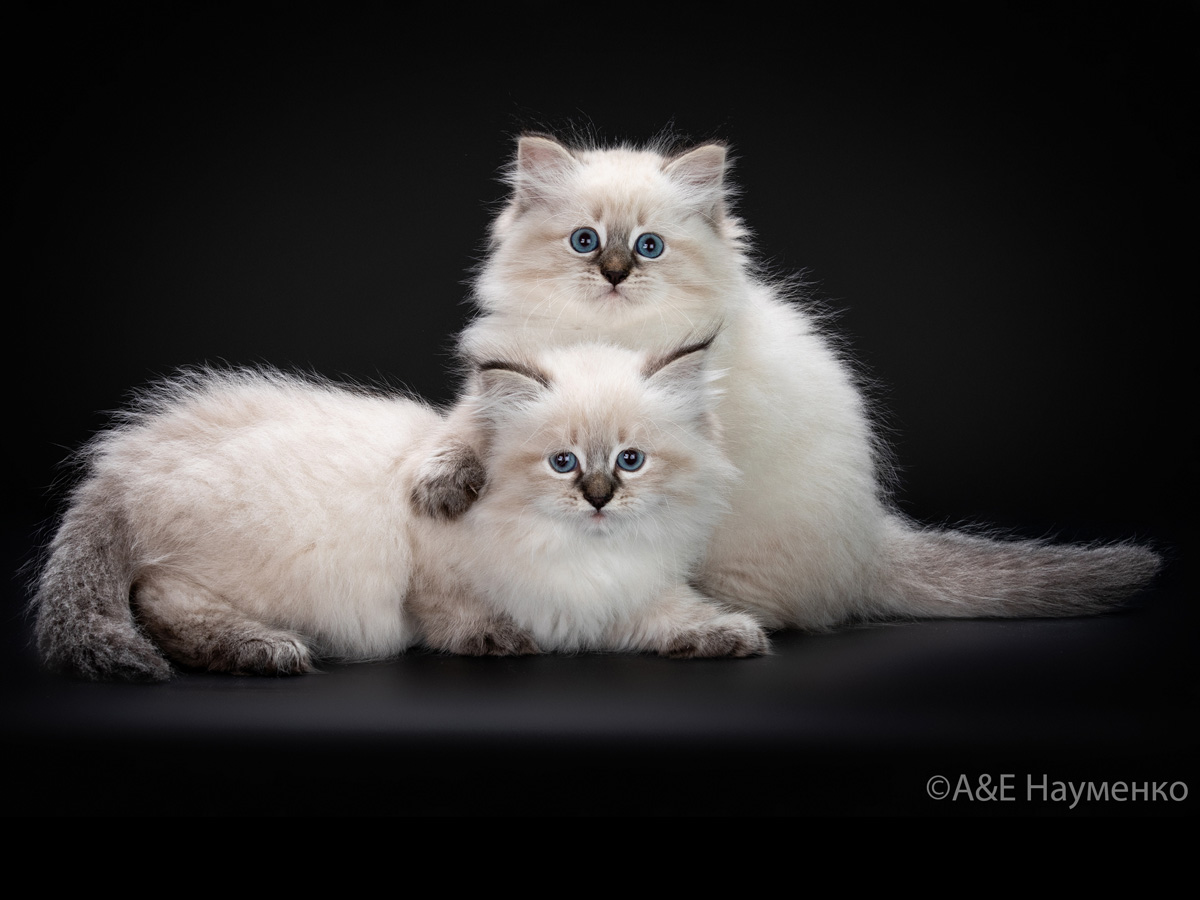 Photogallery of the Neva Masquerade cats cattery